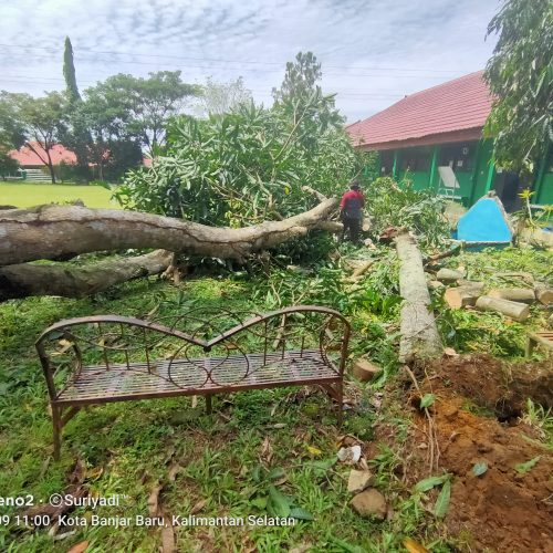 Tumbangnya Pohon Mangga Tua